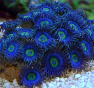 Zoanthids live salt water zoanthids and palythoa coral for Live saltwater fish for sale