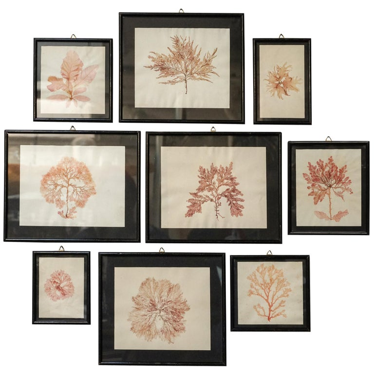 Early 20th Century Set Of Nine Dried And Framed Marine Algae Herbarium Specimens #edwardianperiod