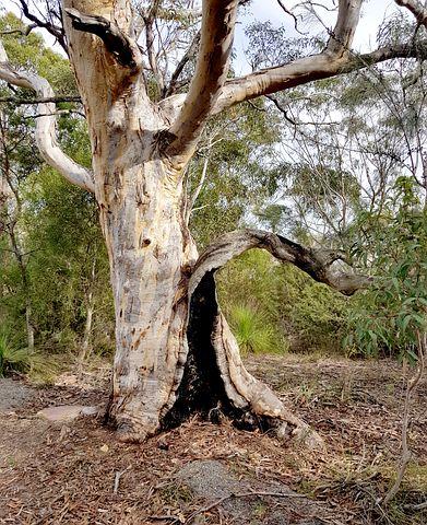 Free Image On Pixabay Gumtree Australia Bush Watercolor Tree