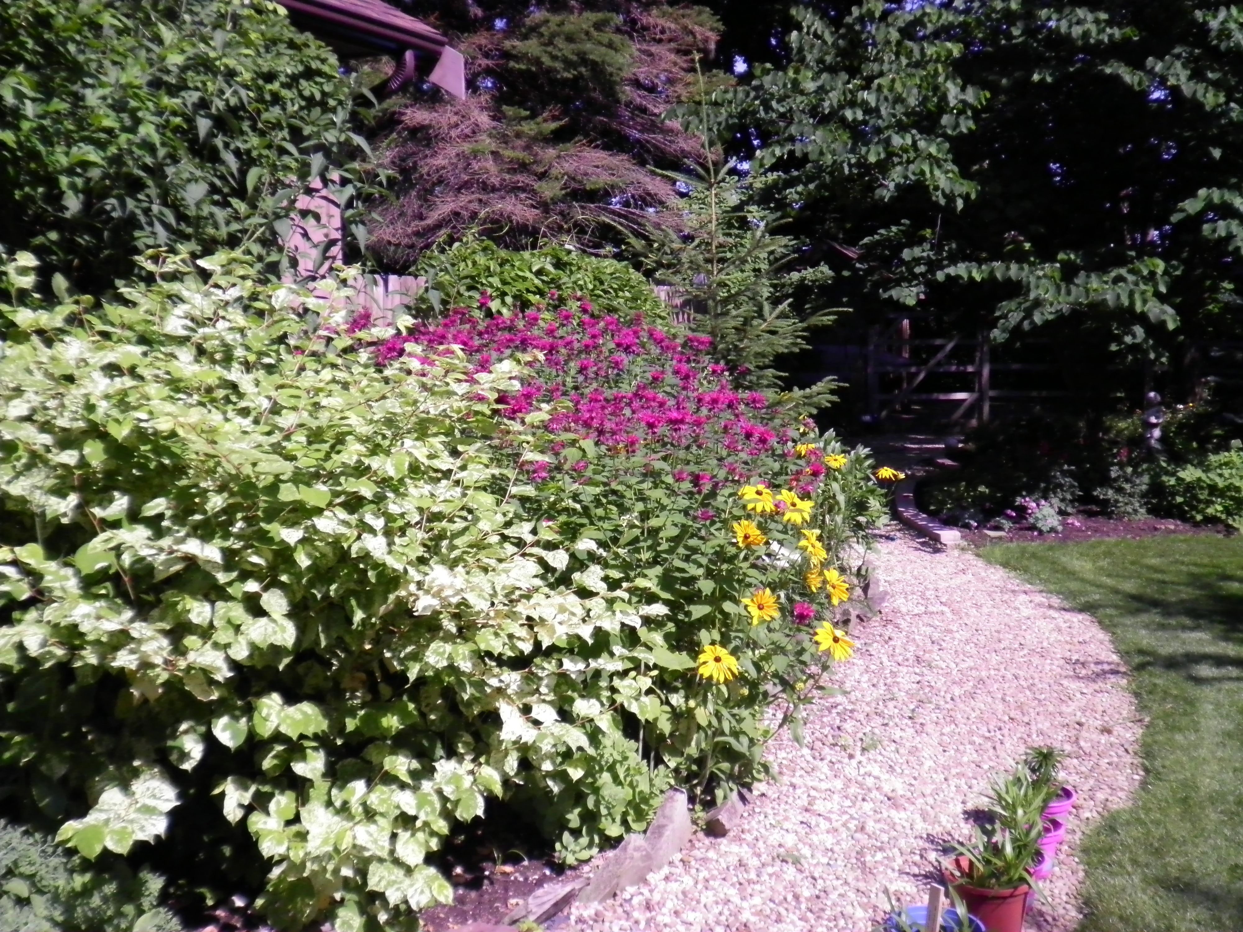 falopia and bee balm my backyard garden pinterest gardens