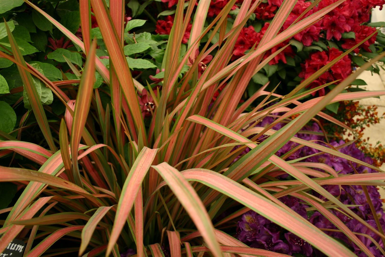 Phormium Jester Foliage Plants Buy Plants Front Yard Landscaping