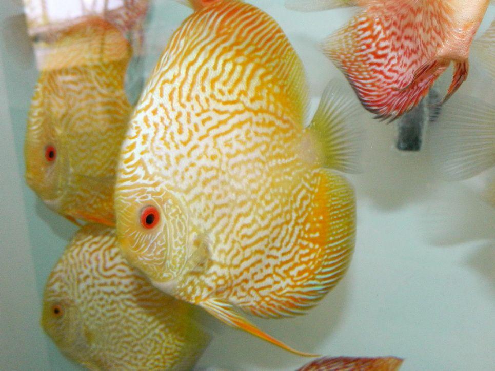 Yellow Snakeskin Discus Discus Fish Betta Fish Types Discus