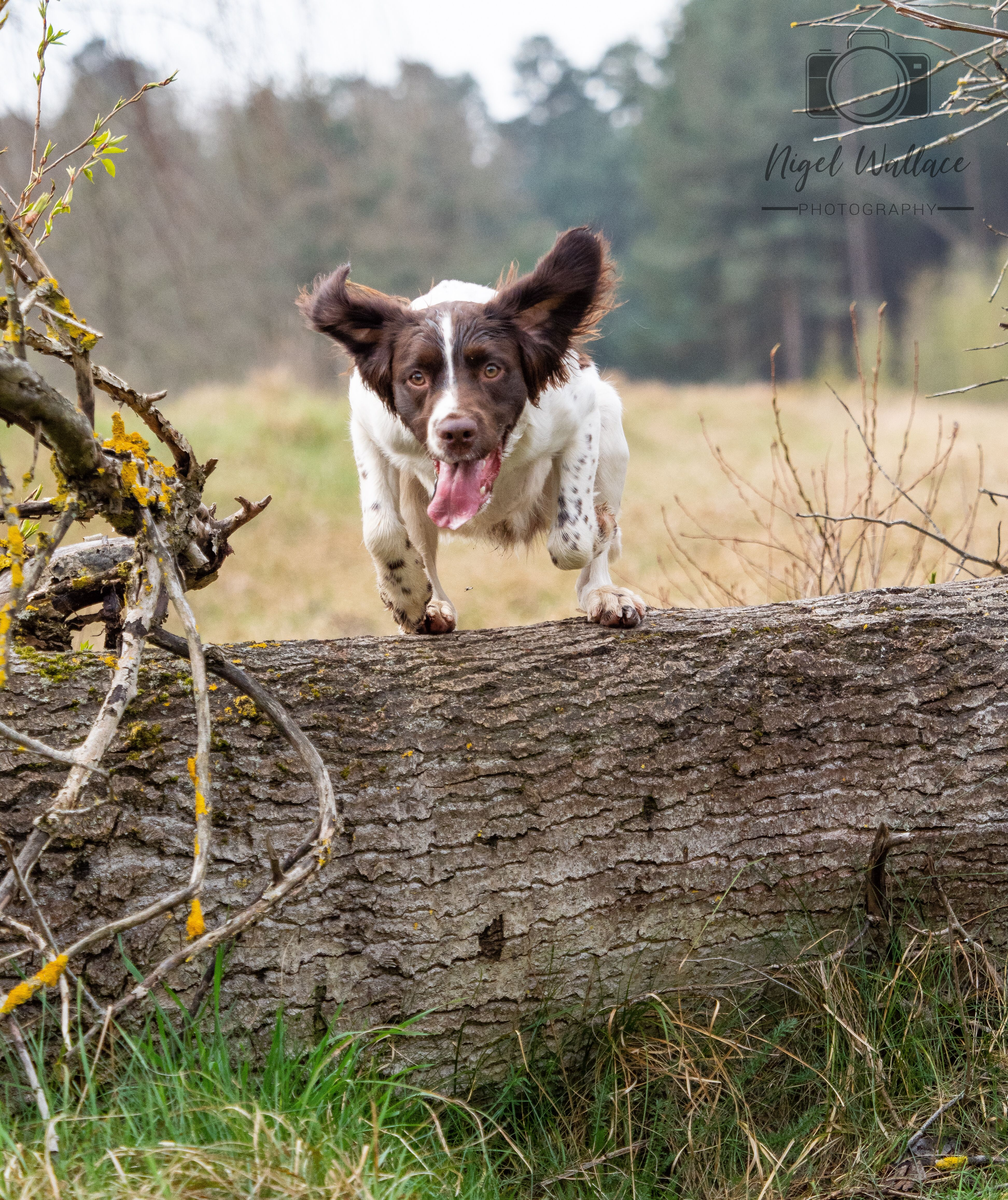 Putting The Spring Into Springer Spaniel Dog Photography Spaniel Springer Spaniel