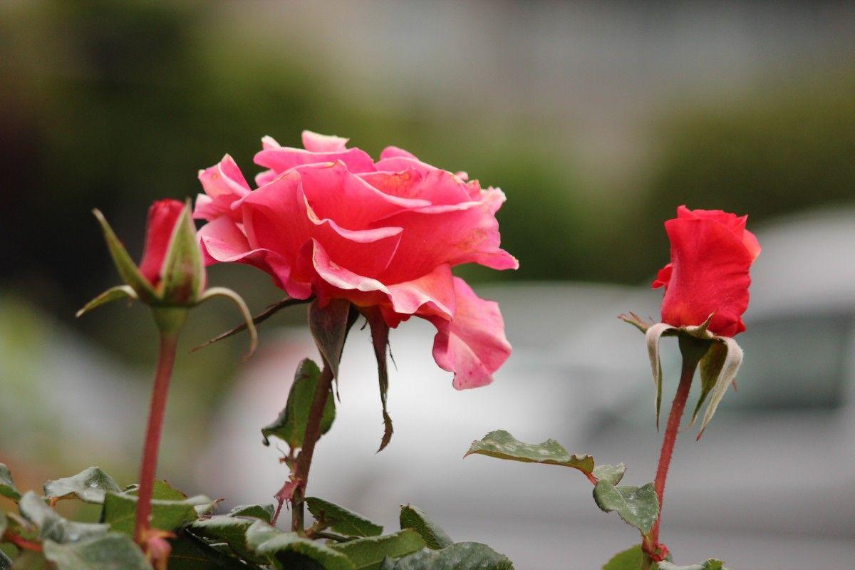 Pin Op Roses Bud Ii
