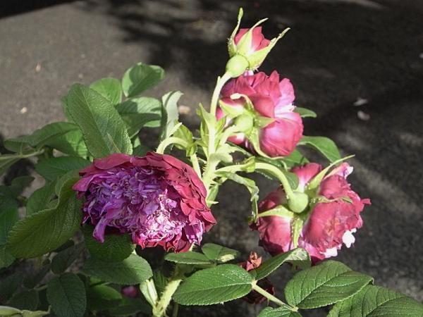 rose 'Souvenir de Trélazé'