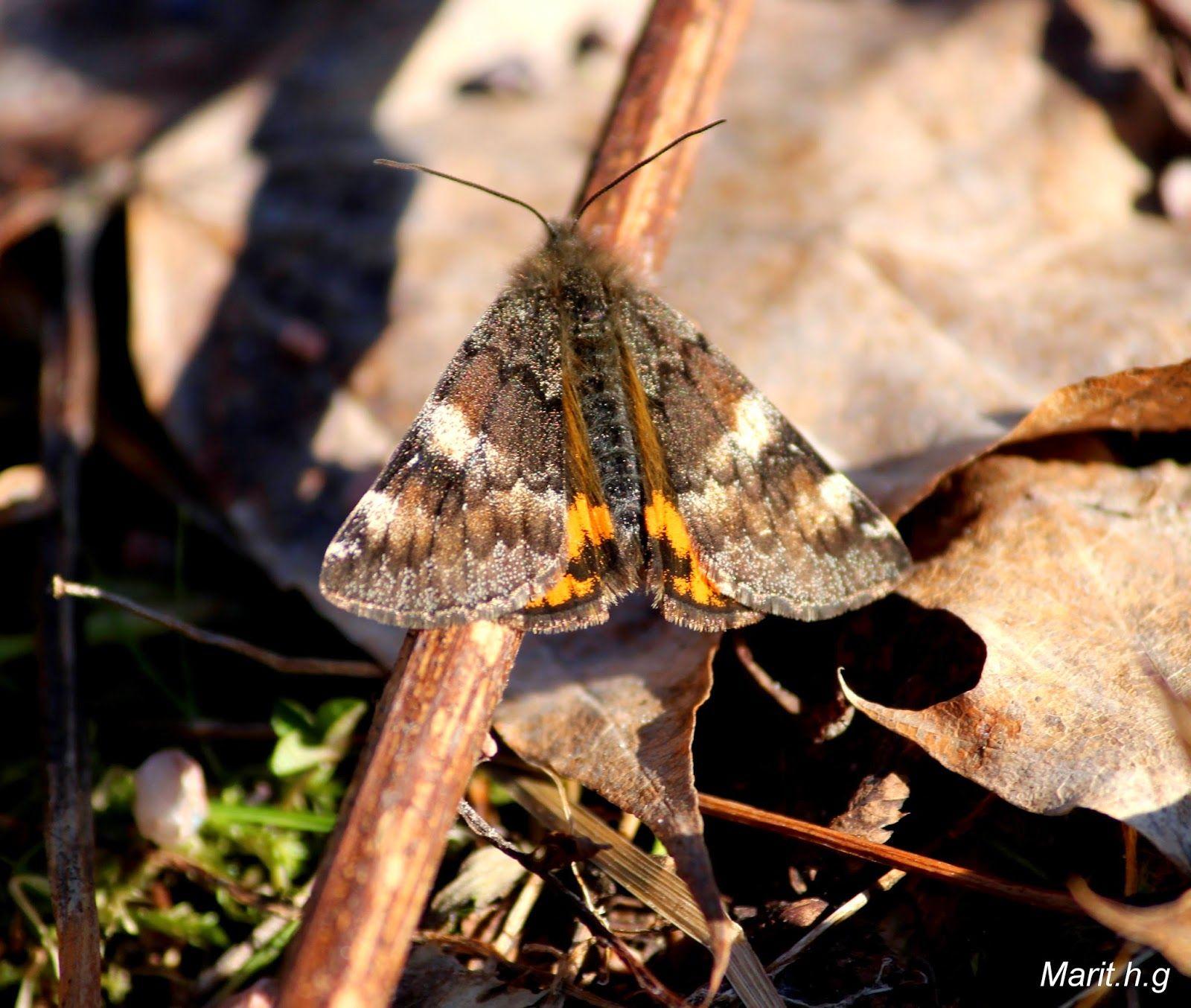 marits hagekos og litt til,,,,: Skulle du ha sett, sommerfugl i midten av mars.