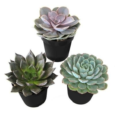 9 Cm Echeveria Plant 3 Pack 0881005 At The Home Depot Planting Succulents Plants Cactus Arrangement