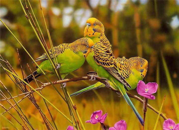 Budgies in the wild Vögel als haustiere, Sittiche