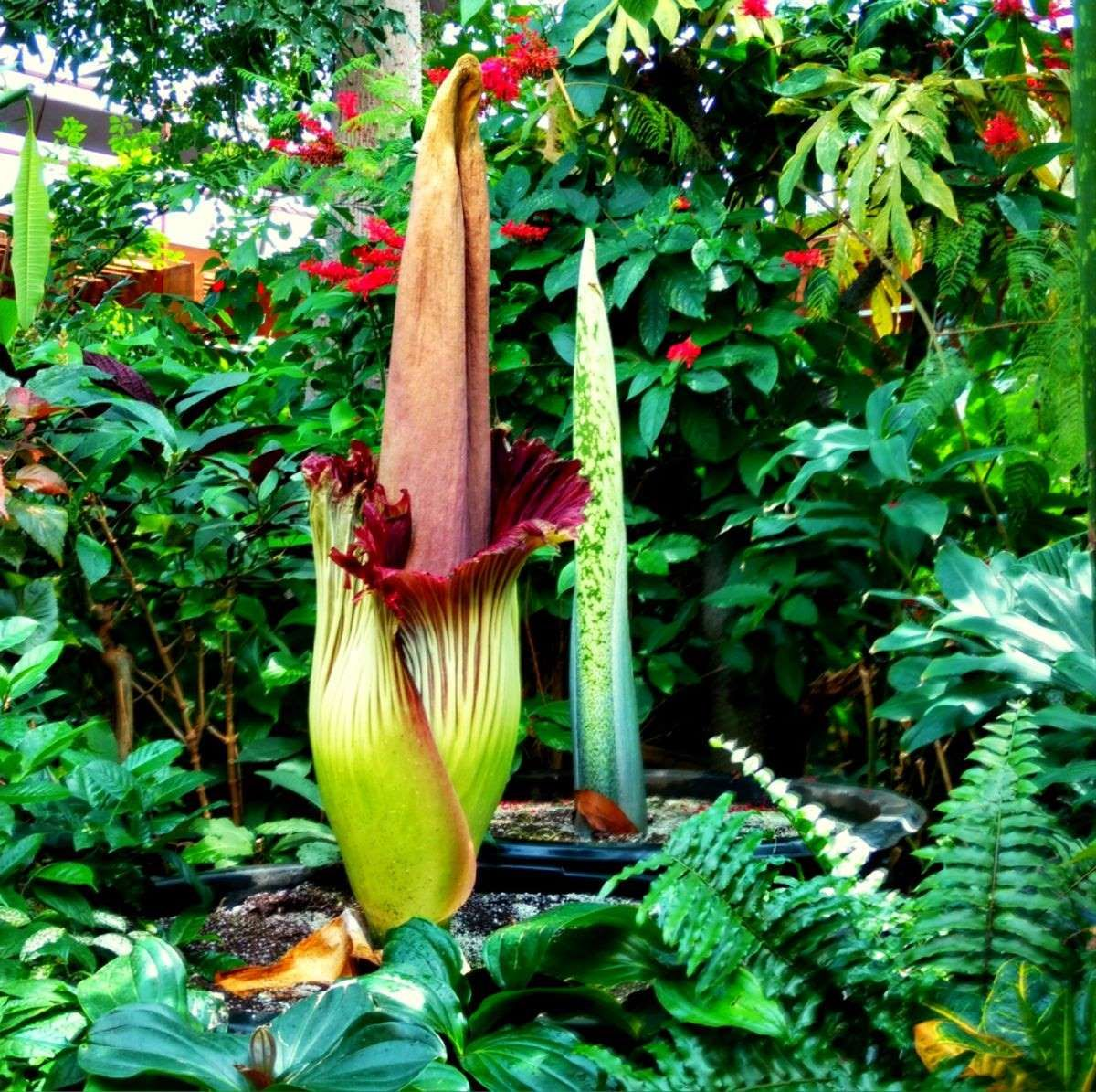 This Corpse Flower Is About To Bloom For The First Time In More Than 10 Years Corpse Flower Unusual Flowers Corpse Flower Bloom