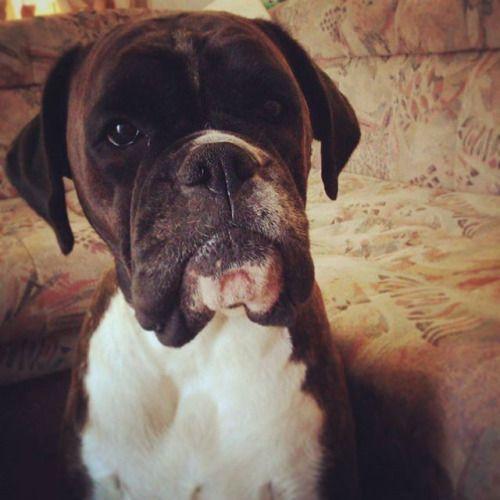 Ebony #ripbestfriend #boxer #boxerdog #boxergram...