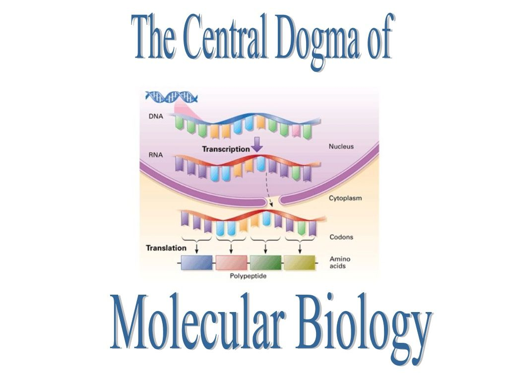Central dogma and protein synthesis by cgales via slideshare dna central dogma and protein synthesis by cgales via slideshare fandeluxe Images