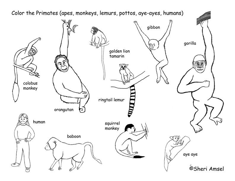 Primates Coloring Page Exploring Nature Educational Resource