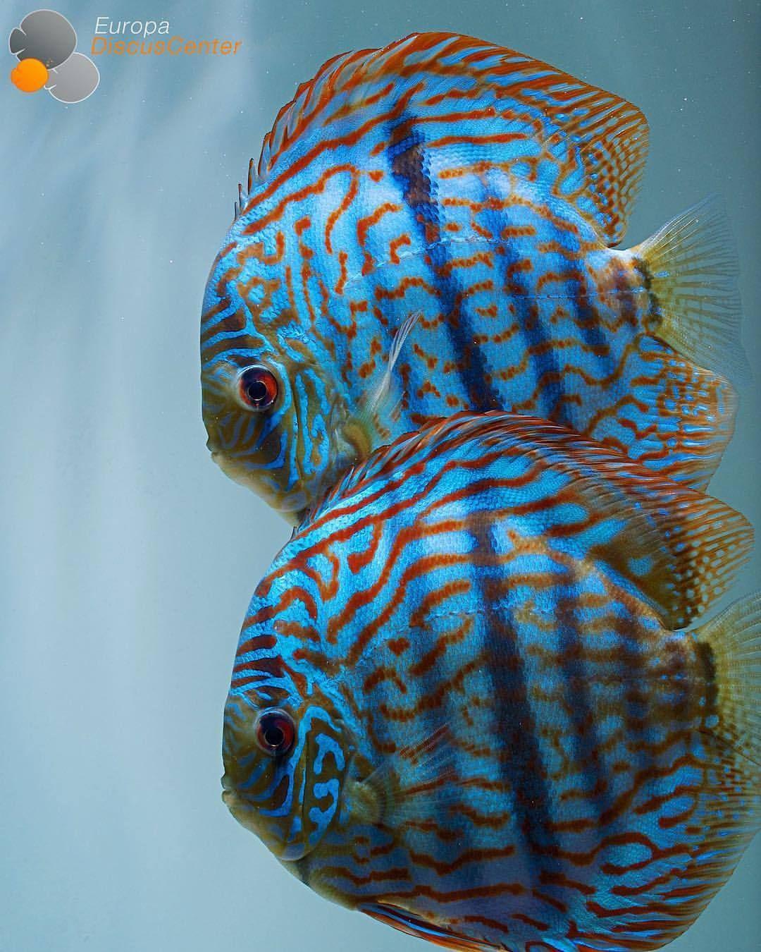 Heckel Cross Discus Breeding Pair Discus Diskus Diskusfische Aquarium Symphysodon Tropicalf Tropical Freshwater Fish Discus Aquarium Cichlid Aquarium