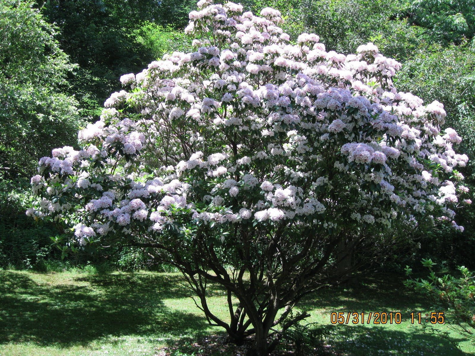 The News From Owl Hollow An Abundance Of Mountain Laurel The Value Of A Friend Mountain Laurel Laurel Shrub Laurel Tree