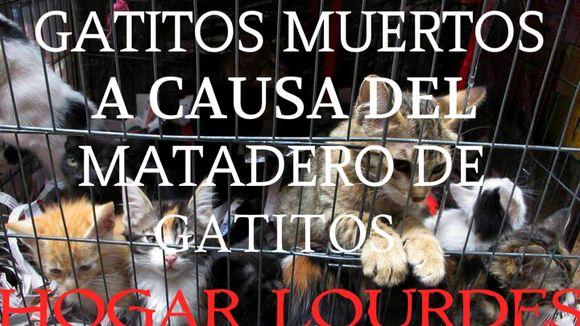 Por Favor Cerremos El Matadero De Gatitos Hogar Lourdes Nicho