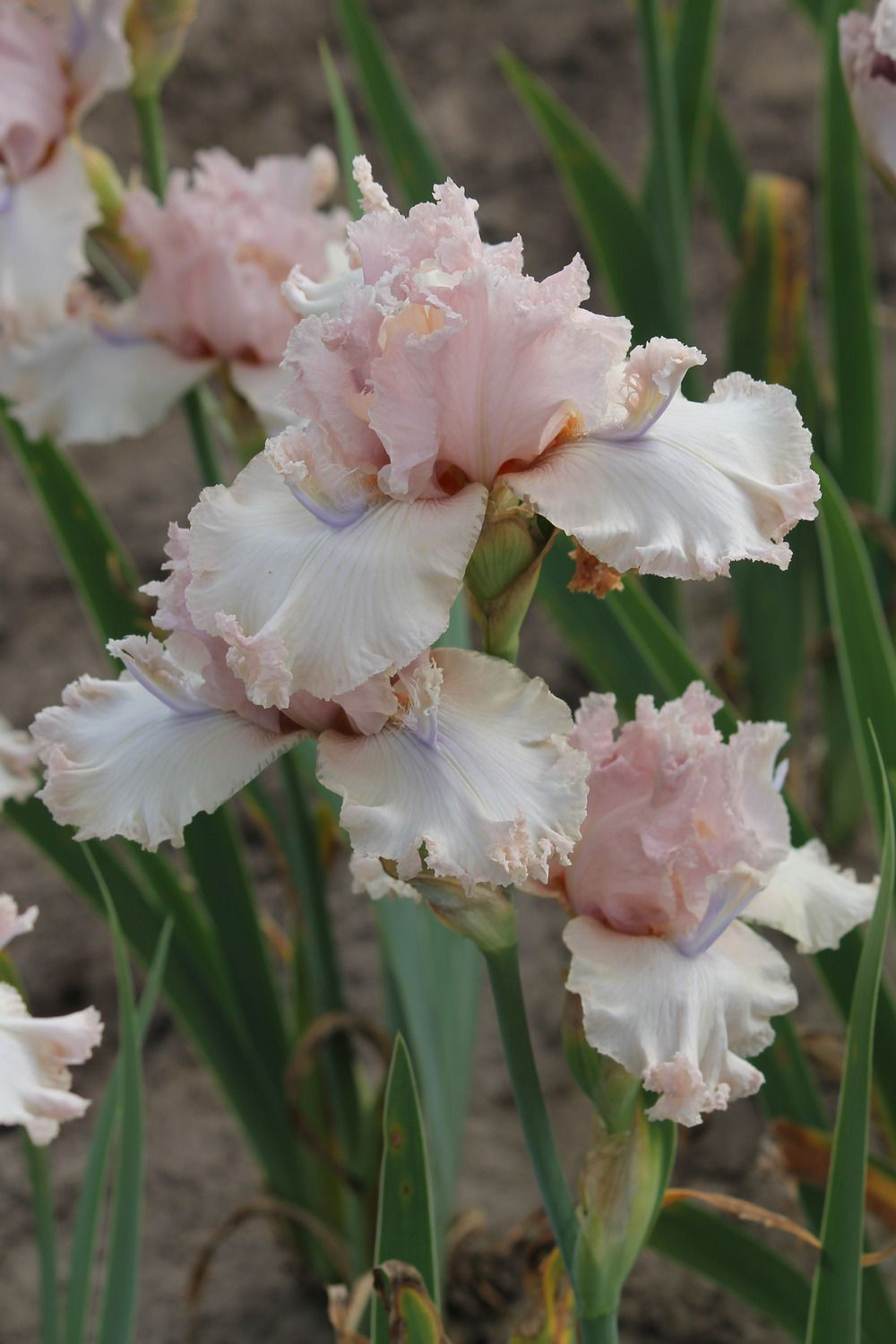 Photo Of Tall Bearded Iris Iris Isadora Belle Uploaded By