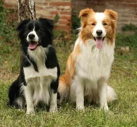 Australian Shepherd Black Bi And Red Bi Border Collie Puppies