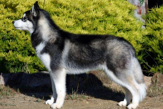 My Girl Husky Named Oddball Siberian Husky Dog Husky Breeds