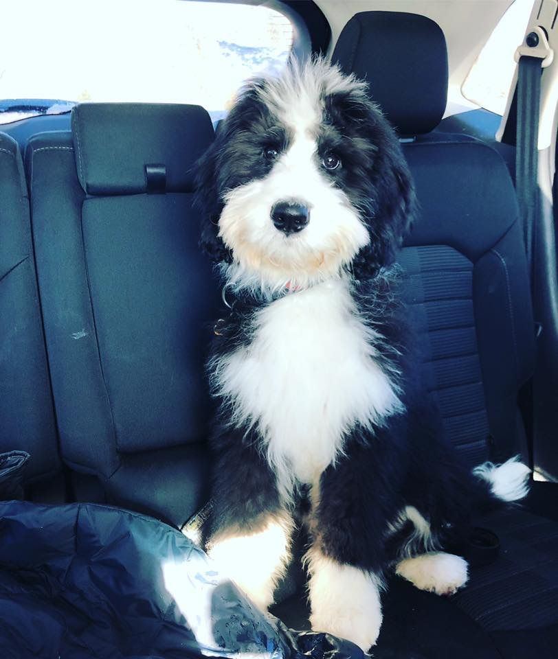 Sully The Bernedoodle Check Out Our Website For More