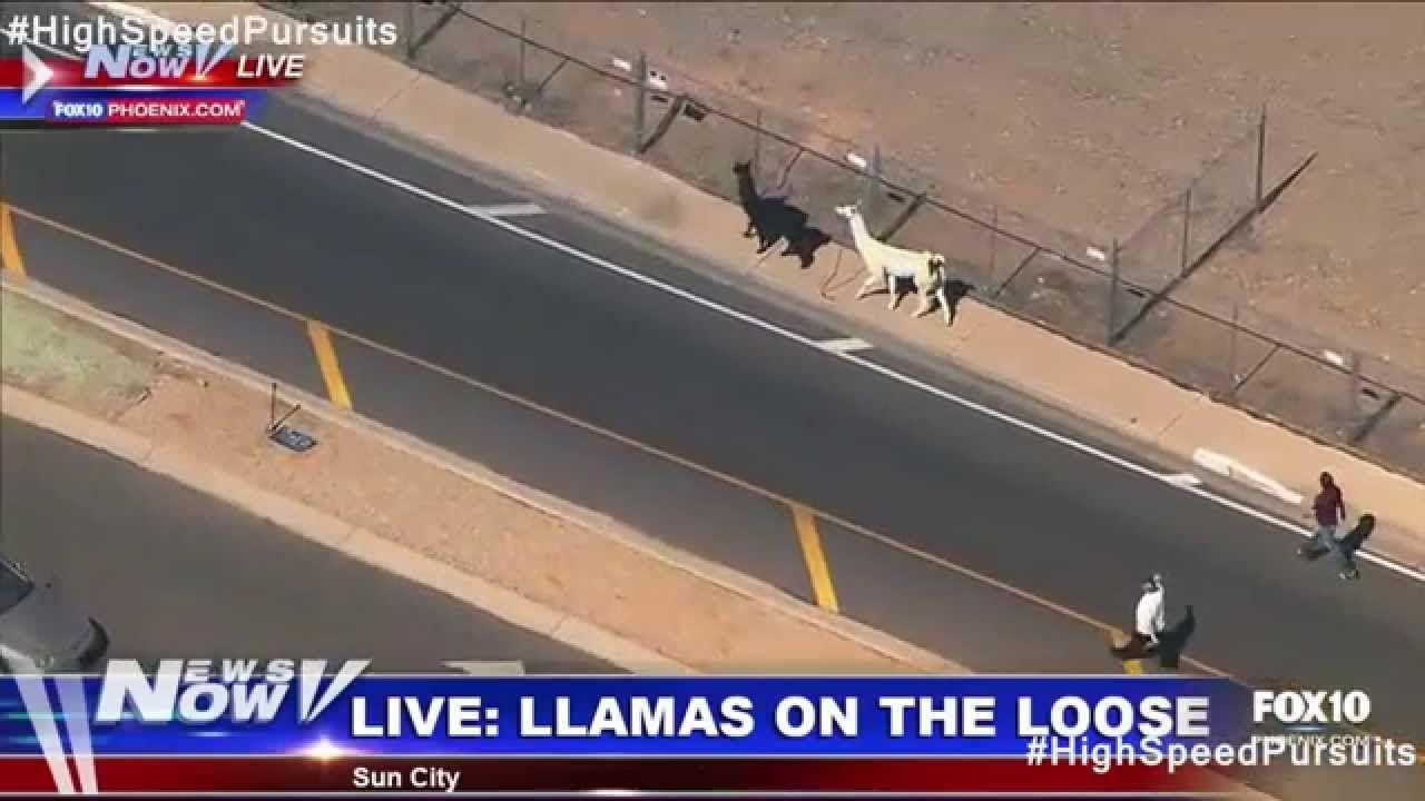 Sun City, Arizona Police Pursuit Two Llamas Causin Drama #LlamasOnTheRun