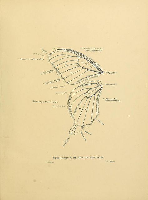 Butterfly wing anatomy from BioDivLibrary, via Flickr | {Botanicals ...