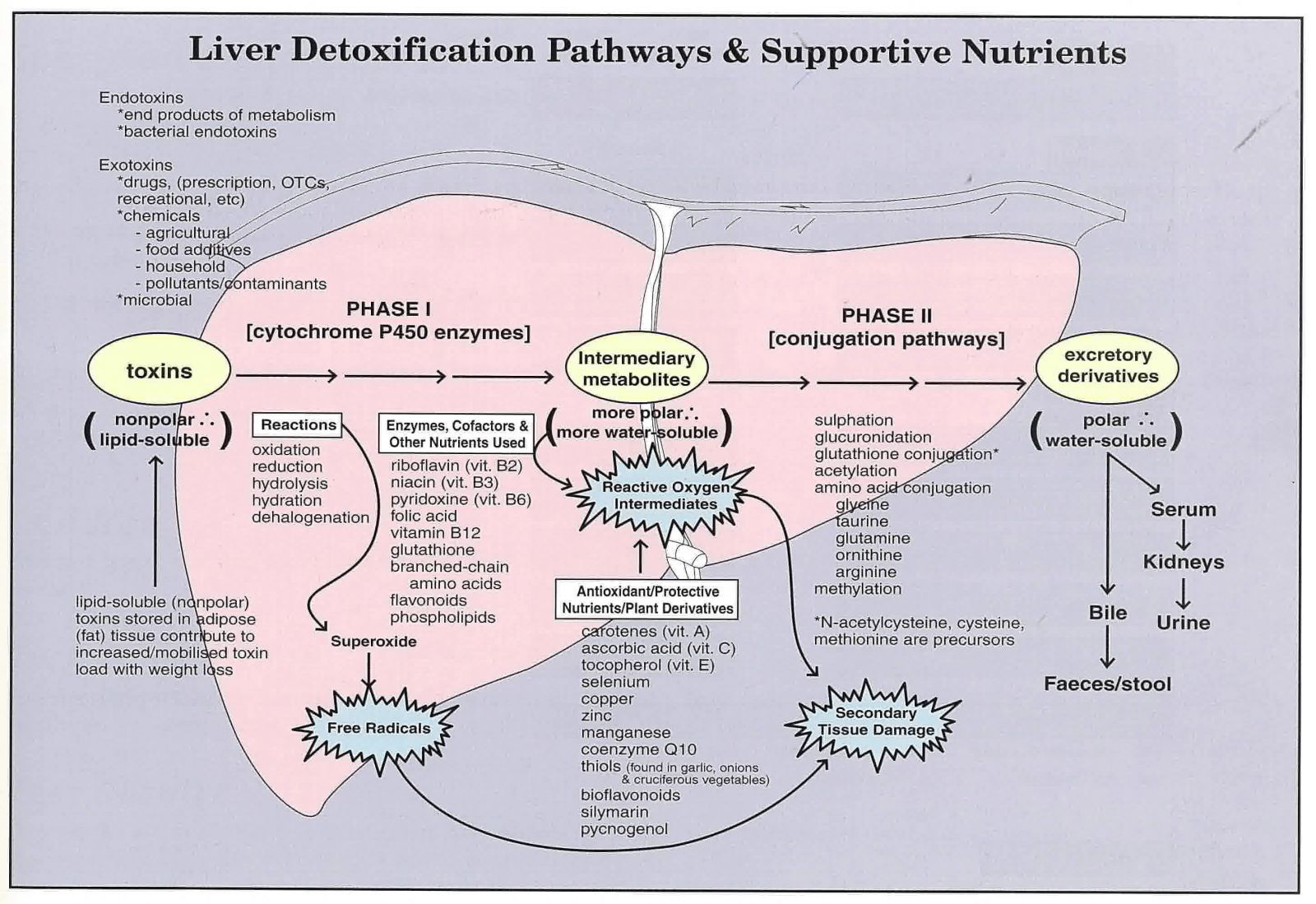 Liver detox pathways diagram one item missed in protective liver detox pathways diagram one item missed in protective nutrients n acetyl cysteine a liver repairer used by hospitals nac ccuart Gallery
