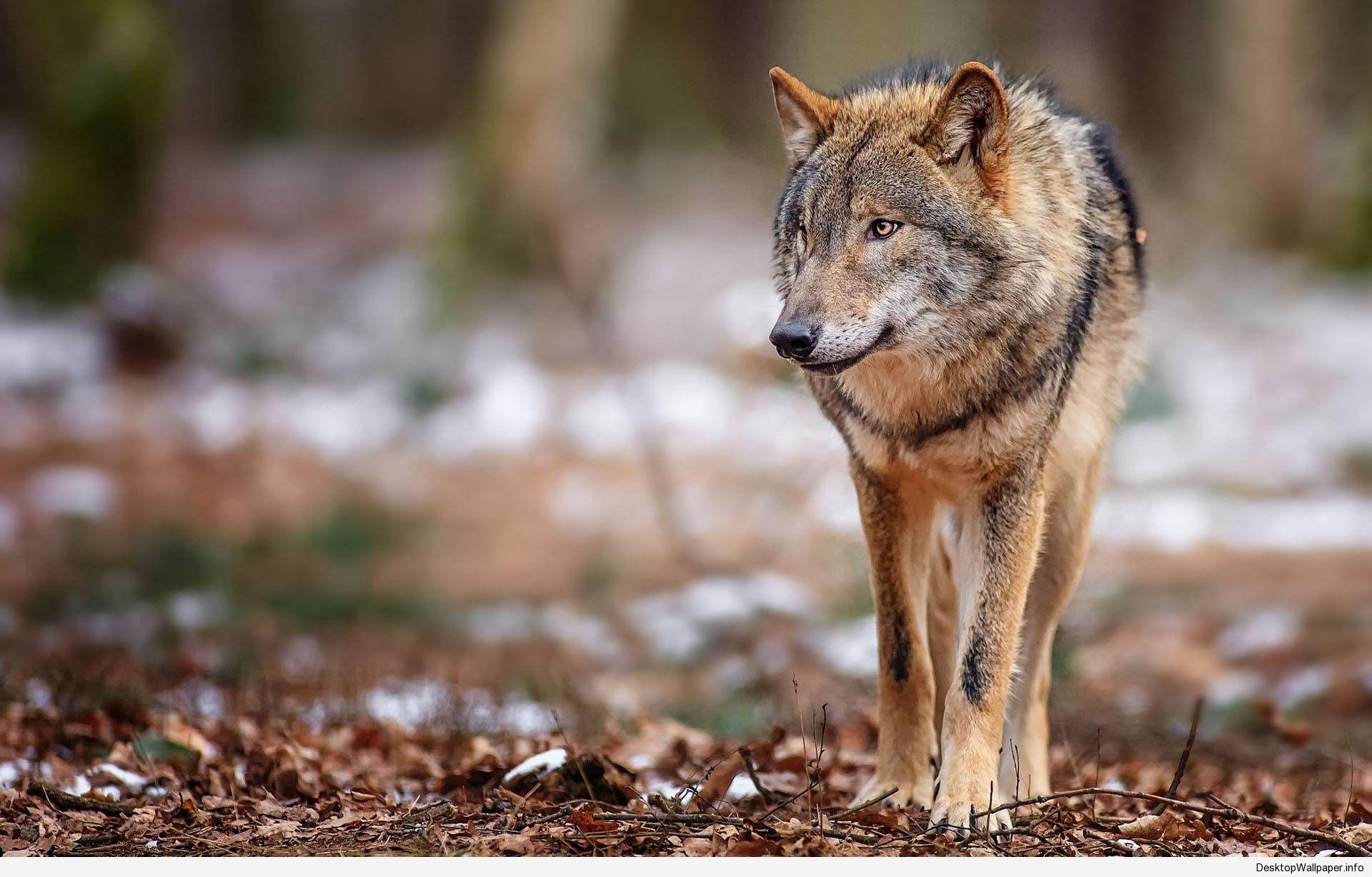 brown wolf wallpaper o brown wolf