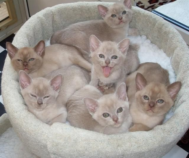 Burmese cats for sale in durban