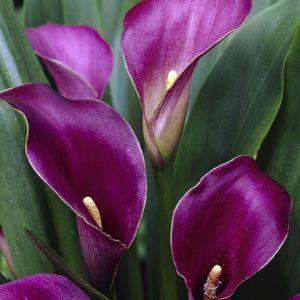 plante exotique calla zantedeschia