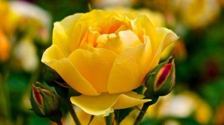 Yellow Rose Flowers Wallpaper Id 1751527 Desktop Nexus Nature