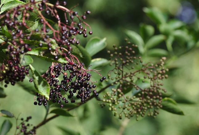 Why elderberries can help you ward off airborne germs when you're traveling.