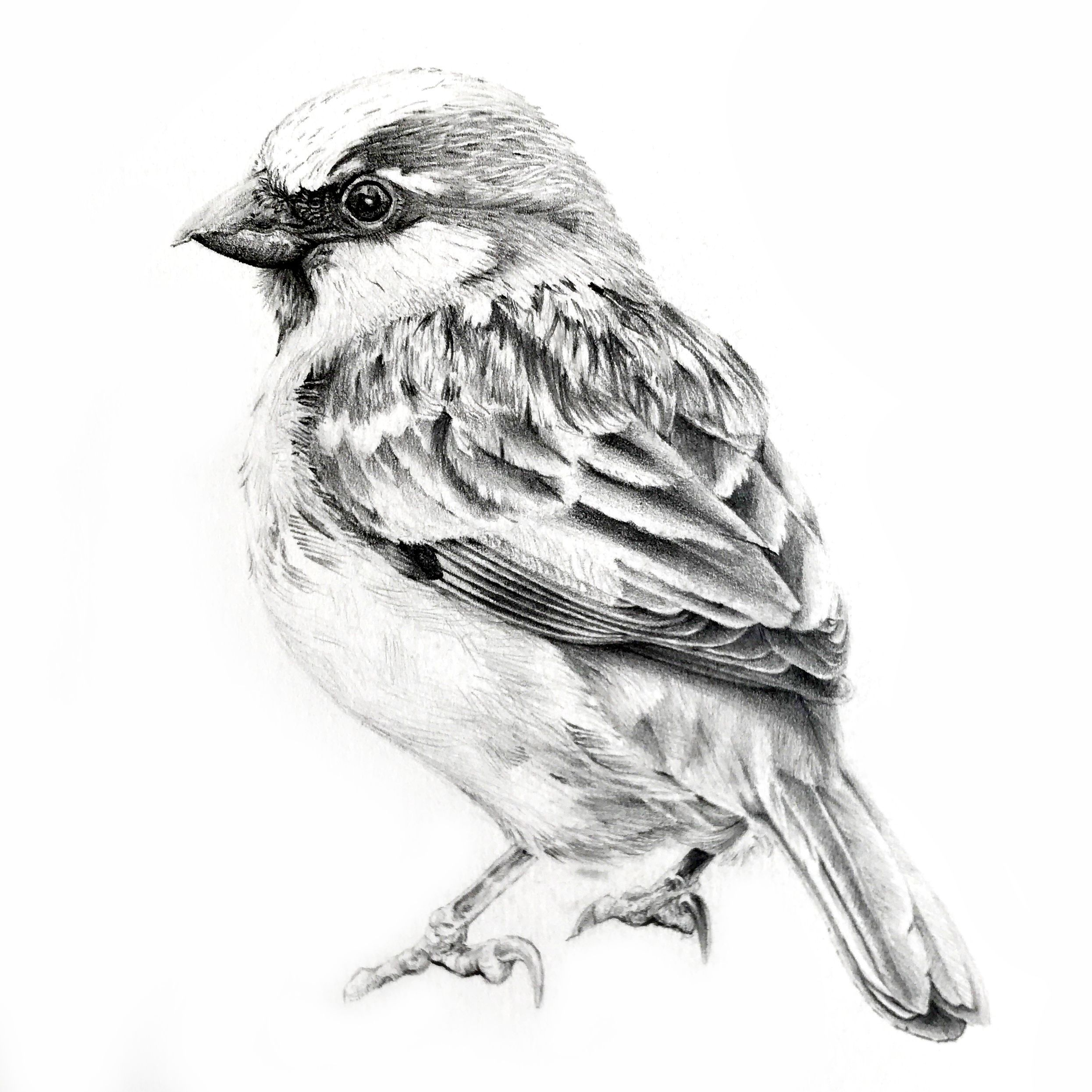 Chipping Sparrow Coloring Page Coloring Pages Free Printable