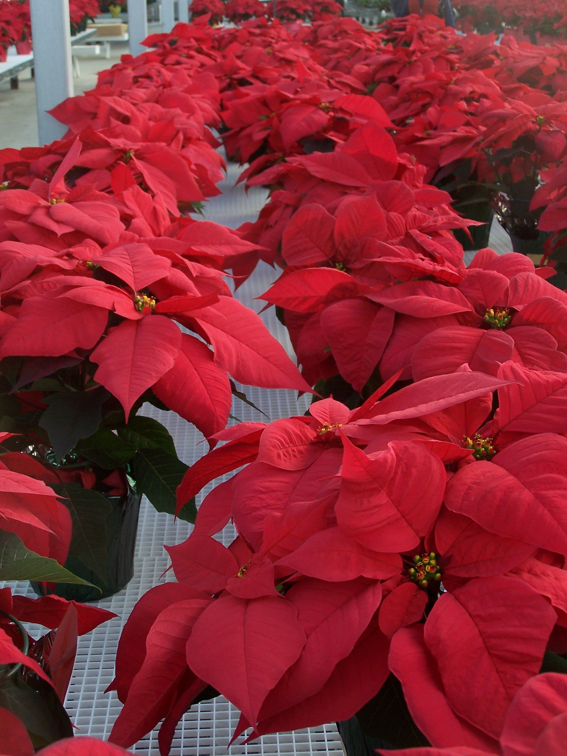 Viking Red\' colors. at Duarte Poinsettia Farms. | Older Adults Bus ...