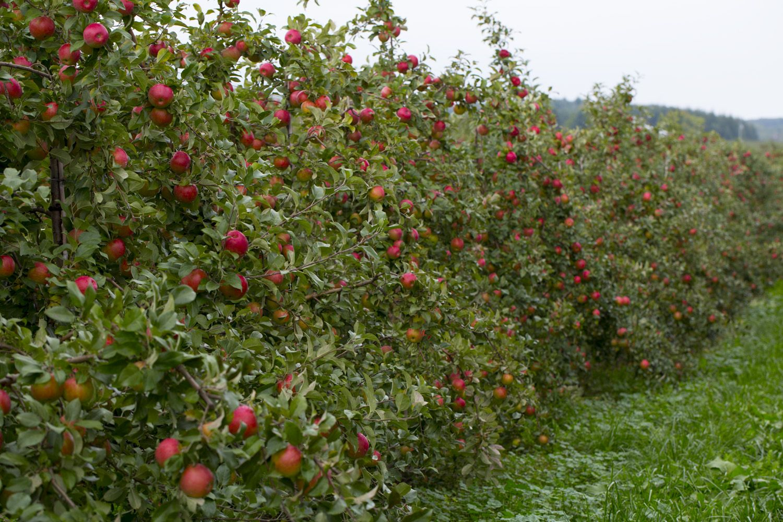 How to Grow Honeycrisp Apple Trees Honeycrisp apple tree