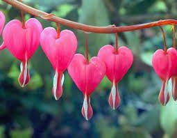 Pin By Duca Marojevic Draslar On Ho Oponopono Flowers Perennials Bleeding Heart Flower Most Beautiful Flowers