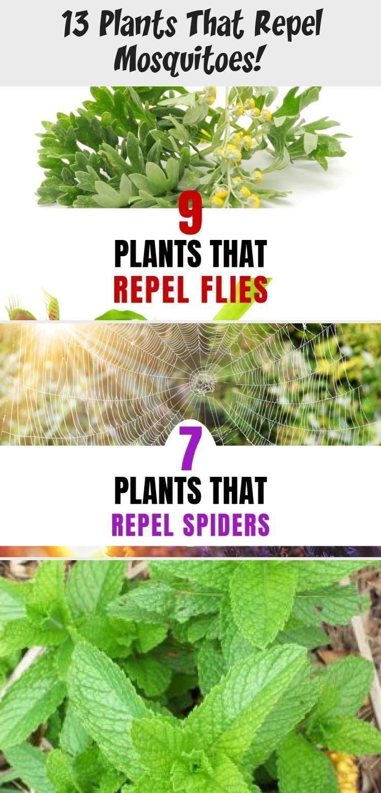 13 Plants That Repel Mosquitoes Plantsthatrepelmosquitoes Plants