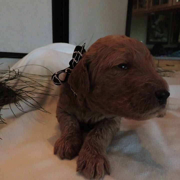 Poodle (Standard) Litter of Puppies for Sale near
