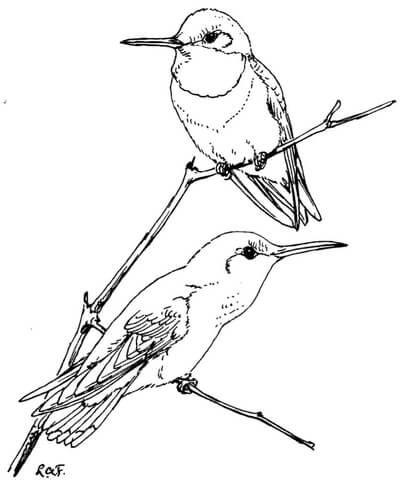 Dos colibríes de de cuello rubí Dibujo para colorear   pájaros y ...