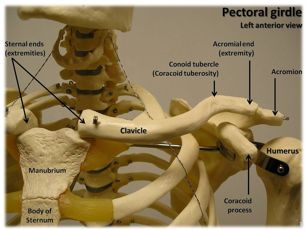 Bones of the pectoral girdle, anterior view with labels ...