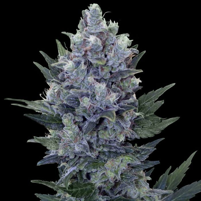 Northern Light Automatic from Royal Queen Seeds #marijuana #cannabis #weed  www.irierebel