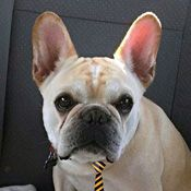 French Bulldog Rescue Network :: Buckley in IA