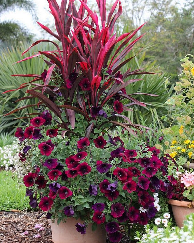 Container Garden W Cordyline Fruticosa Ti Plant Burgundy Petunia Plants Container Gardening Flowers Container Plants