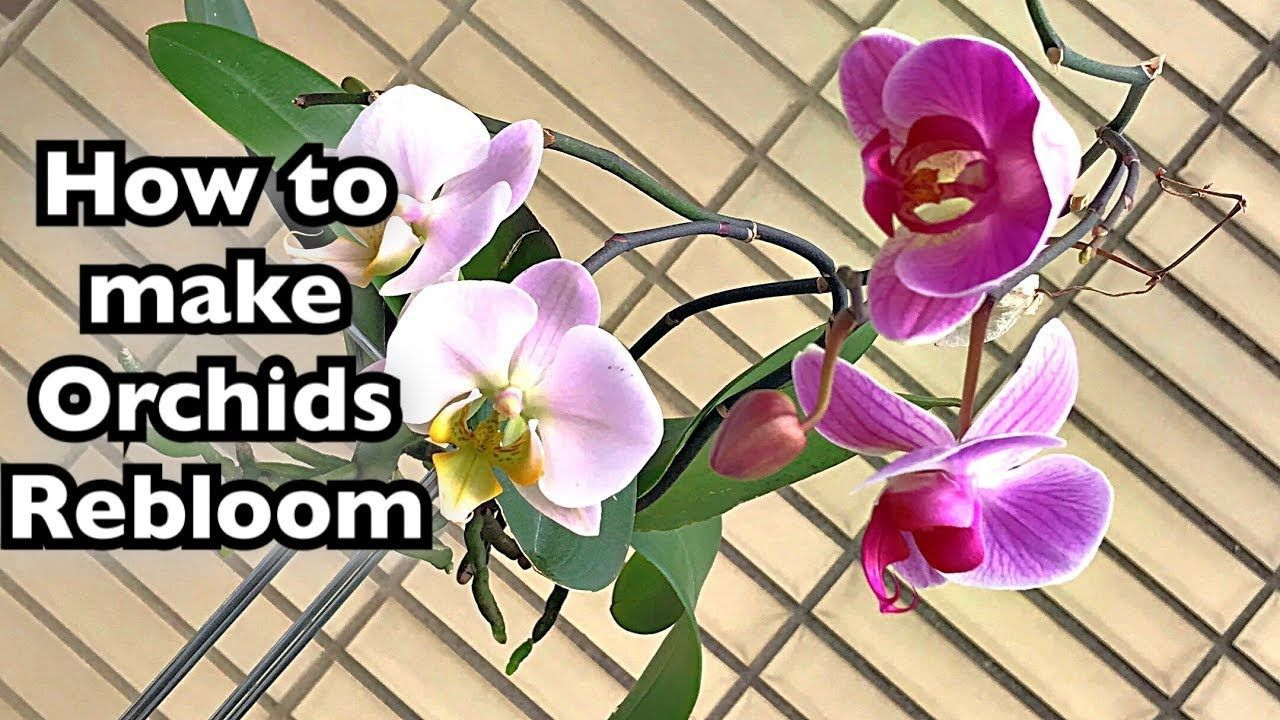 Orchid Care How To Make Orchids Rebloom Phalaenopsis Orchid