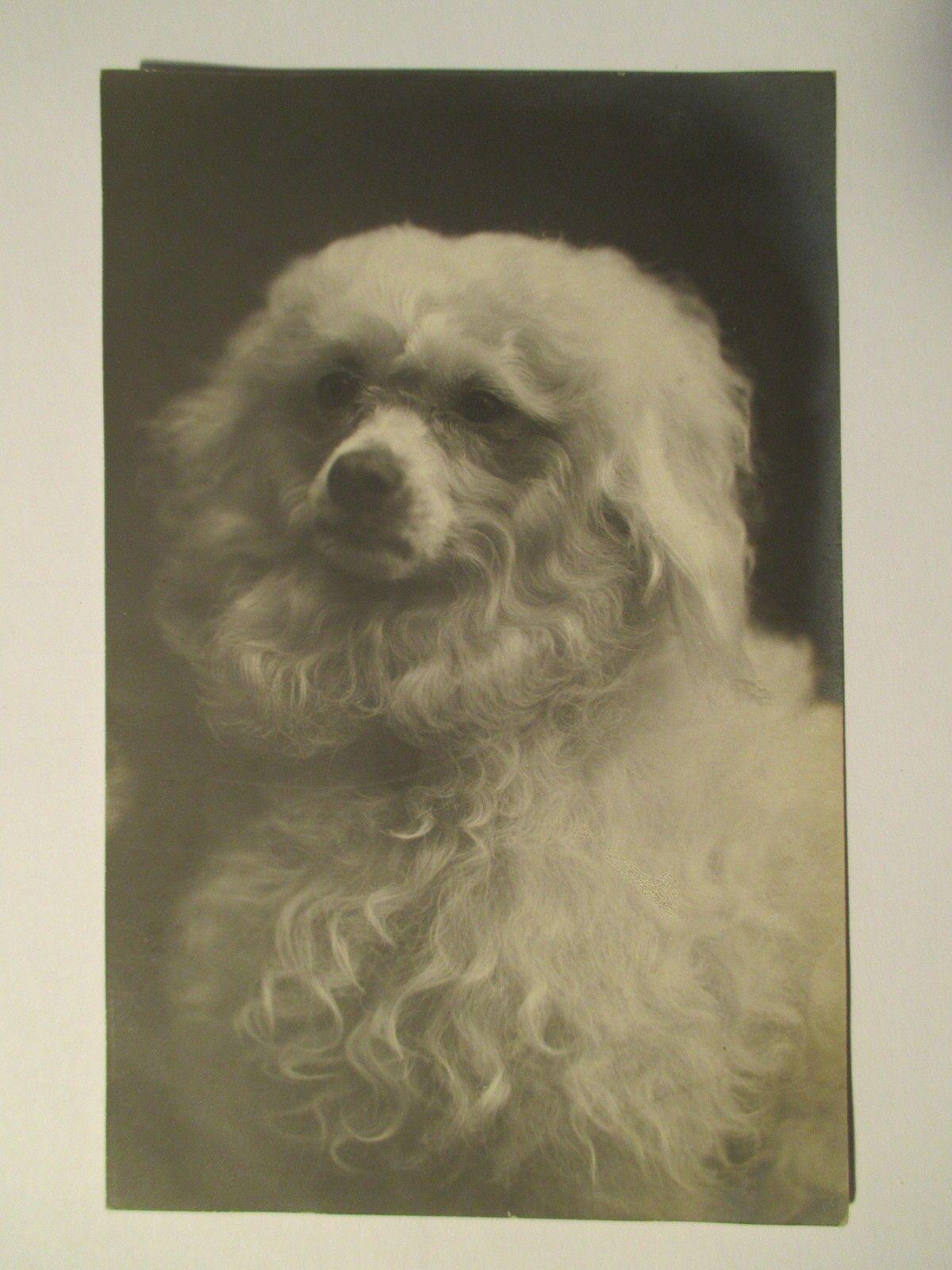 Hund Pudel um 1911