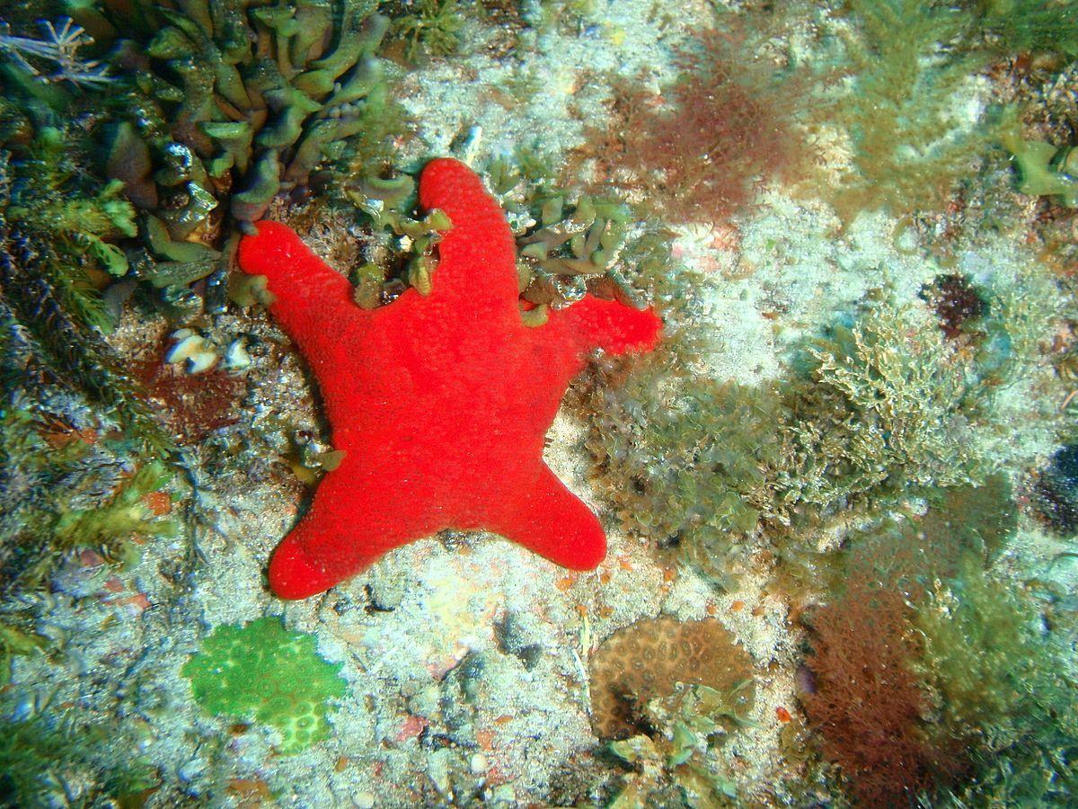 Starfish Anatomy Worksheet Asteropseidae