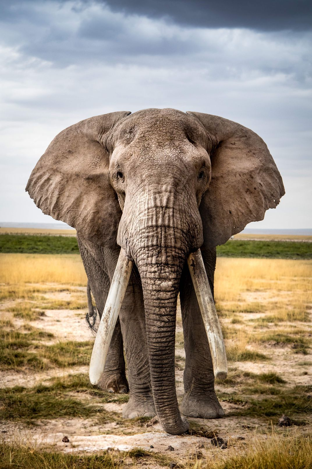 One of the oldest elephants remaining in Amboseli National Park, the essence of this photograph is wisdom. Staring into the uninterrupted gaze of this bull elephant conveys the hardened sorrow that has culminated from the pain of having family members lost to poaching.