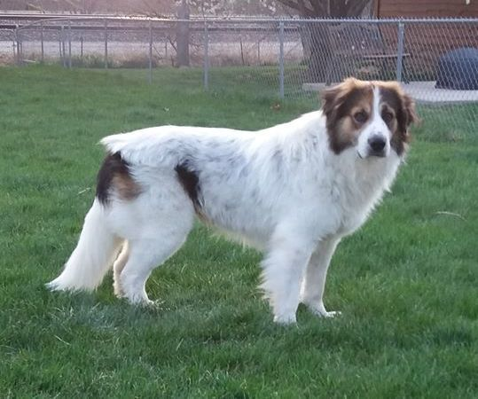 Adopt Viking On Dogs Great Pyrenees Animal Rescue