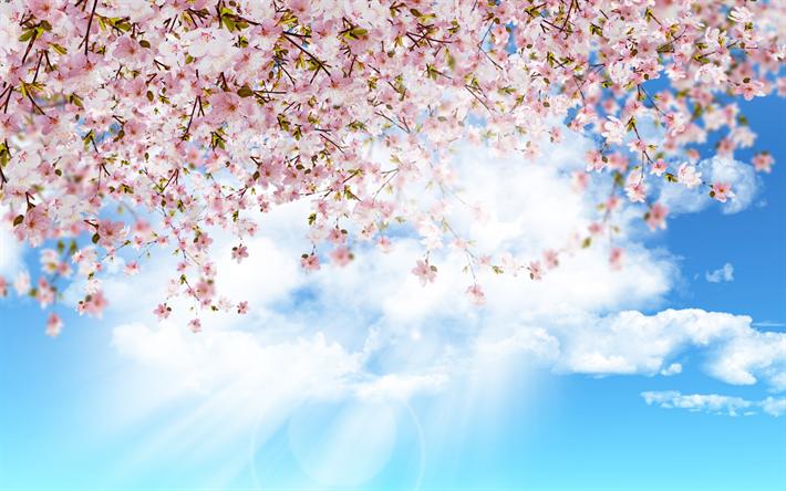 Ciliegio Fiori Bianchi O Rosa.Scarica Sfondi Sakura Giappone Blu Cielo Primavera Fioritura