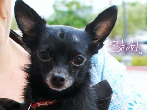 Adopt Stretch On Chihuahua Dogs Chihuahua Dogs