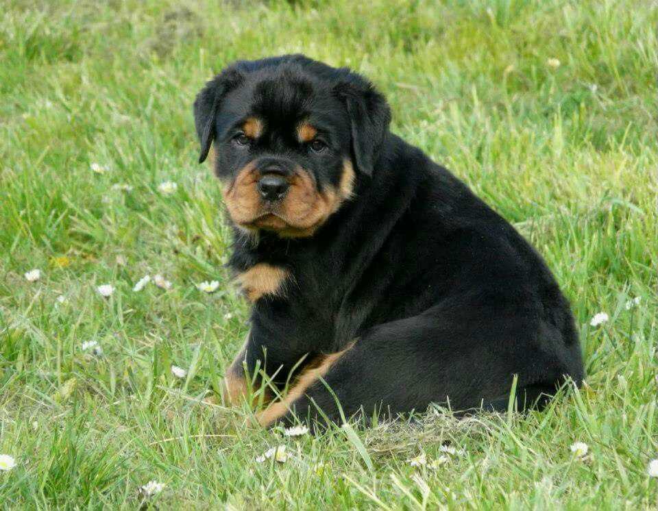 beautiful baby Rottweiler lovers, Rottweiler puppies, Rottie